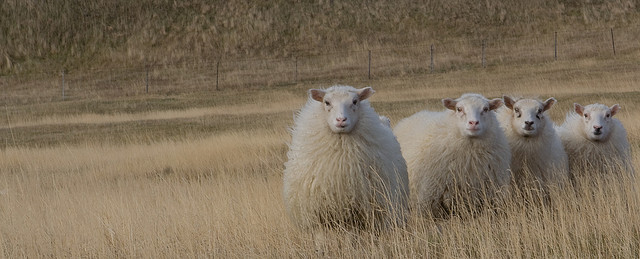 "Photo de Ludovic Hirlimann, ""Moutons"" (licence CC BY-NC)"