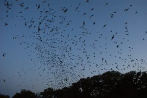 Bracken cave bats by Daniel Spless sous licence CC BY-SA 2.0