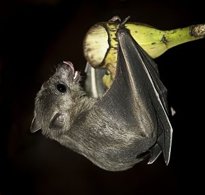 Fruit bat by huge hume - sous licence CC BY-NC-ND 2.0