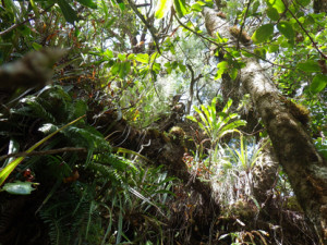 epihytic_ferns_and_orchids_(Bebour_forest)